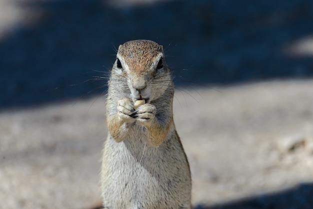 Xerus inauris południowoafrykański ziemi wiewiórki siedzieć