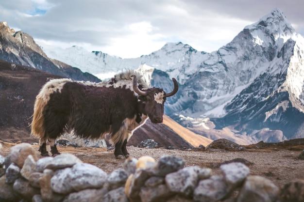 Yak stoi w górach himalajów