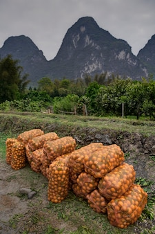 Yangshuo, guangxi, chiny plantacje pomarańczy na wyżynach wiejskich chin, worki ze świeżo zebranymi owocami cytrusowymi leżące na ziemi na tle krasowych wzgórz guilin.