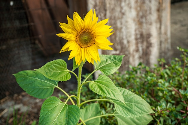 Yellow flower rośnie porzucony w środowisku miejskim