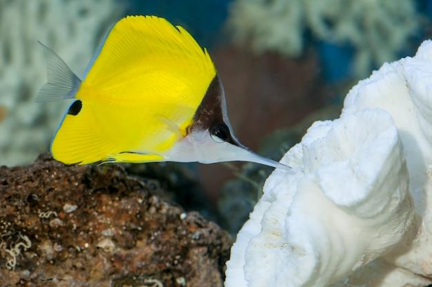Yellow Longnose Butterflyfish, Morska Ryba Akwariowa Pływająca W Koralu Premium Zdjęcia