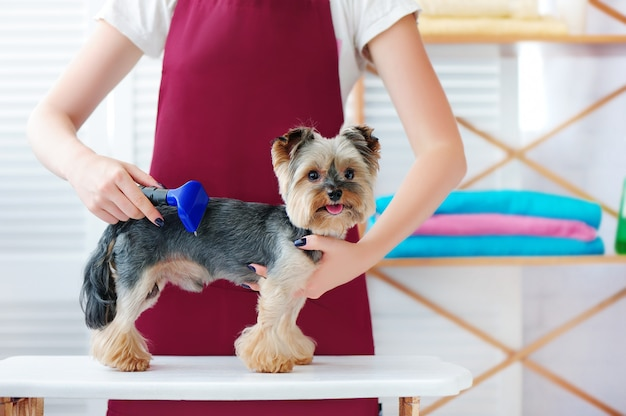 Yorkie szczeniak dostaje redukcję futra w salonie pielęgnacji