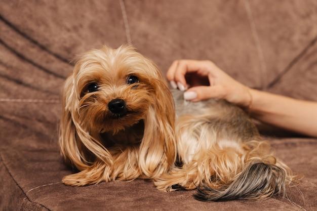 Yorkshire terier. yorki. pies na kanapie. właściciel dotyka swojego zwierzaka.