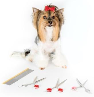 Yorkshire terrier i nożyczki pielęgnacyjne