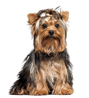 Yorkshire terrier jest ubranym łęk siedzi patrzejący kamerę