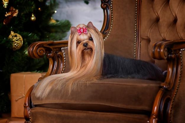 Yorkshire terrier na krześle