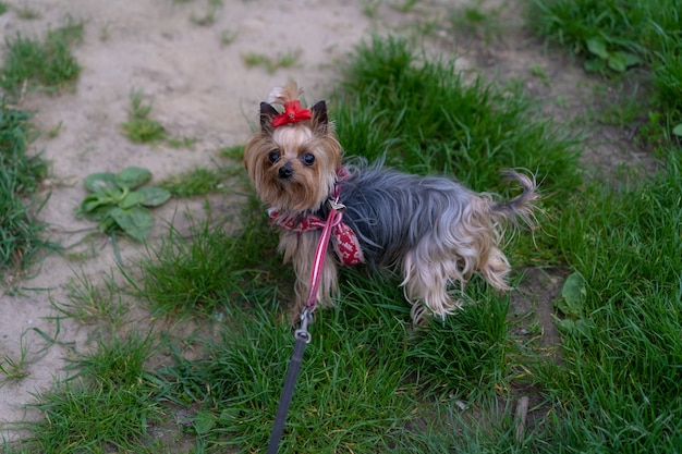 Yorkshire terrier na smyczy na spacer