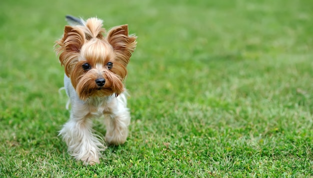 Yorkshire terrier pies w zielonej trawie latem