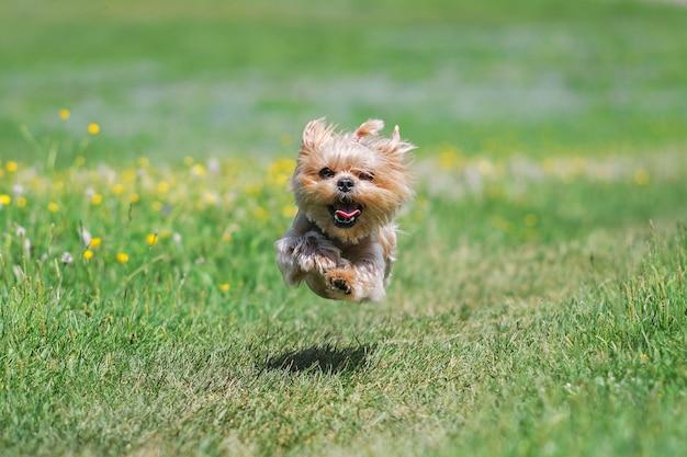 Yorkshire terrier pies z letnią fryzurą biegnącą przez pole w jasny słoneczny dzień