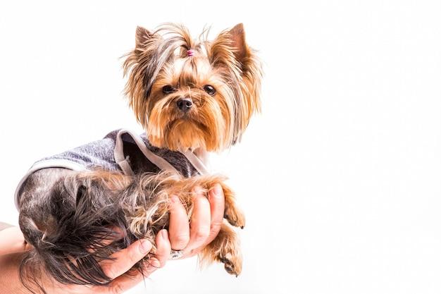 Yorkshire terrier siedzi na ręce osoby