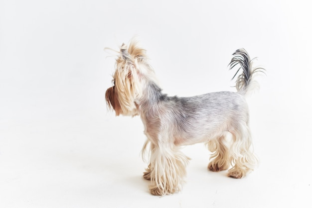 Yorkshire terrier ssaki przyjaciel człowieka studio pozowania