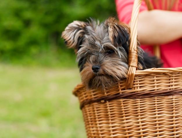 Yorkshire terrier w koszyku