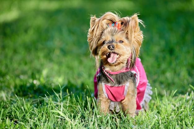 Yorkshire terrier w różowej sukience spaceruje po publicznym parku z wystającym językiem