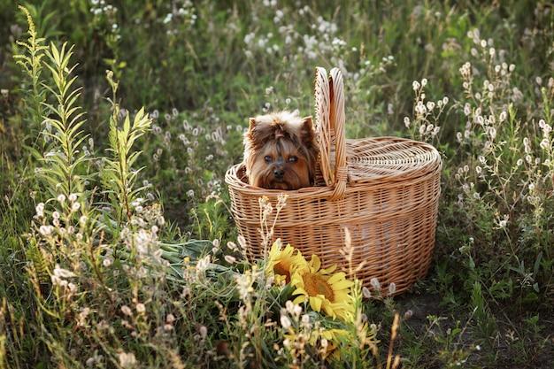 Yorkshire terrier w torbie piknikowej na zewnątrz