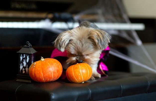 Yorkshire terrier wąchający halloweenowe dynie siedzące na krześle na tle fortepianu