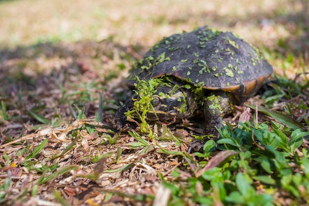 Z bagna wyszedł mały czarny żółw. z wodą w paproci przyczepionej do ciała