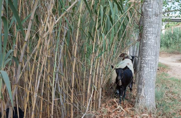 Z bambusowych zarośli wyłaniają się kozy domowe i owce.