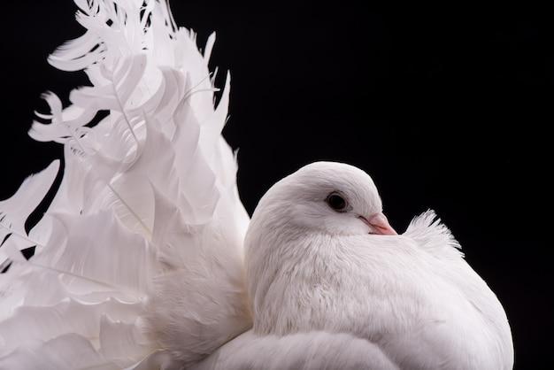 Z bliska na białym gołębiu. pojedynczo na czarno.