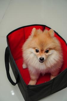 Z bliska na zwierzęciu, rasie małych psów lub pomorsku, siedzi w składanym koszyku z szmatką, który stawia na granitowej podłodze