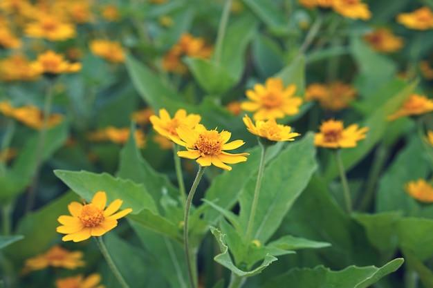 Z bliska piękne kwitnące dzikie pnący mleczny żółty kwiat z retro kolorowym filtrem tonowym