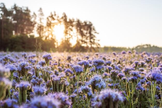 Z bliska strzał fioletowe kwiaty facelia w letni poranek