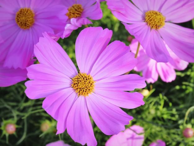 Z bliska strzał różowy kwiat z żółtym pyłki