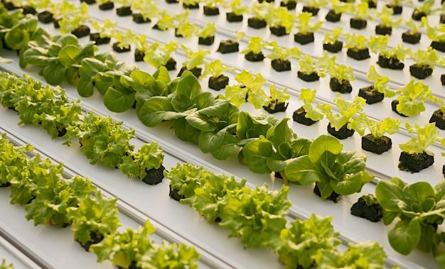 Z góry różne sadzonki sałaty rosnące na tacy na stole hydroponicznym we współczesnej szklarni
