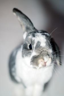 Z góry uroczy, zabawny, szaro-biały, nakrapiany królik, siedzący na podłodze w pokoju