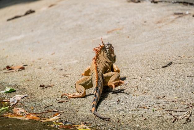 Z tyłu wizerunek samca iguany rozwijającego się w sezonie lęgowym w kolorze pomarańczowym do pomarańczowo-czerwonego