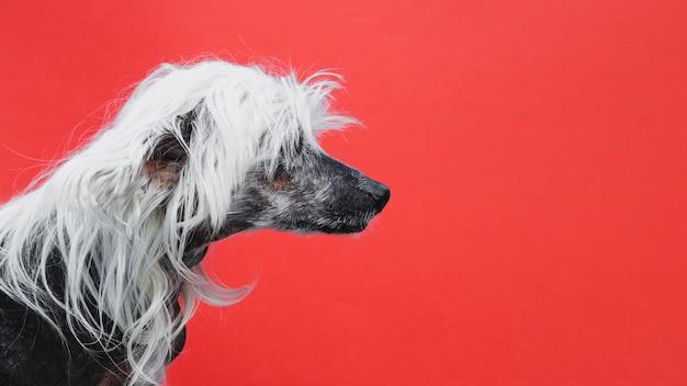Z ukosa portret chińskiego czubatego szczeniaka