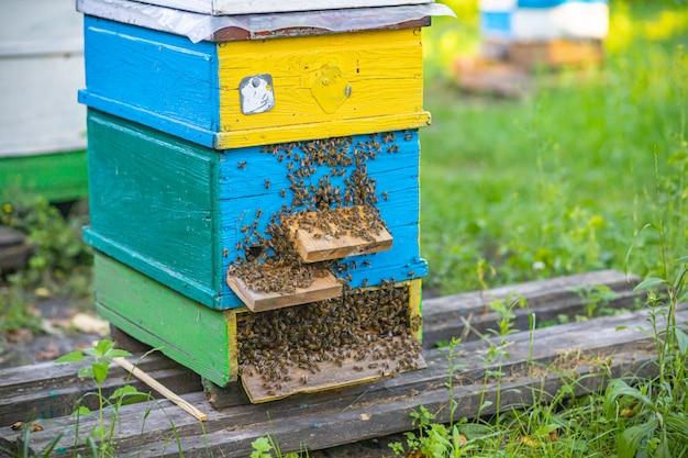 Z ulu wychodzą pszczoły. kolonia pszczół miodnych chroni ul przed rabowaniem spadzi.