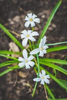 Z ziemi wyrasta krzew małych białych kwiatów z żółtym środkiem z zielonymi liśćmi