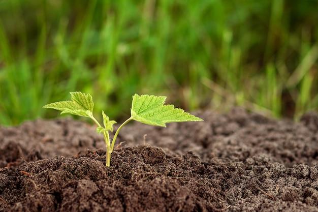 Z ziemi wyrywa się zielony kiełek.