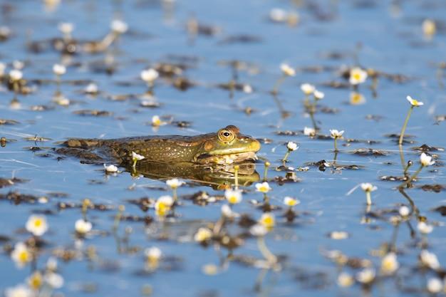 Żaba błotna pelophylax ridibundus. w dziczy.