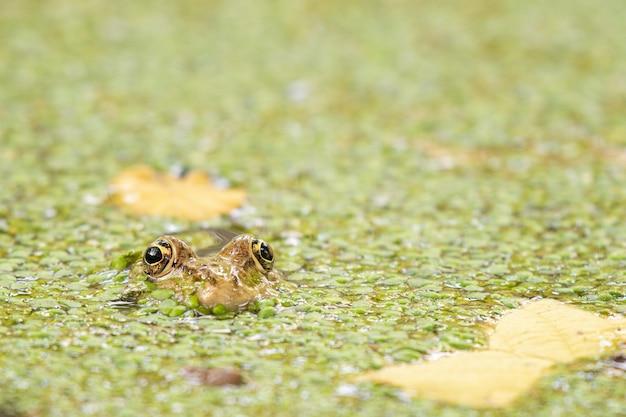 Żaba błotna pelophylax ridibundus zielona, chowająca się w lemnie.