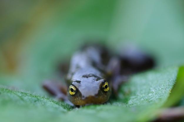 Żaba kijanka pozowanie na zielonym liściu
