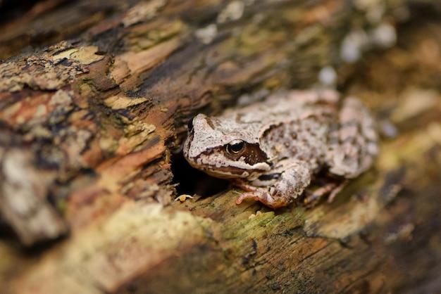 Żaba leśna przebiera się w korze drzewa