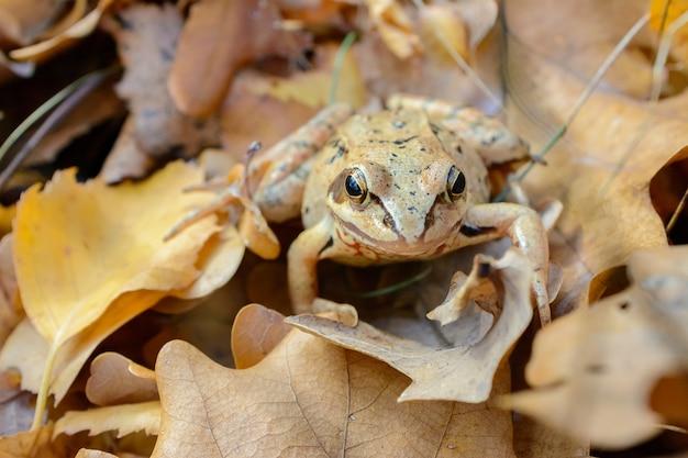 Żaba leśna wtapia się w kolor jesiennych liści, biologiczne mechanizmy ochrony przed drapieżnikami, maskujące zwierzęta dla środowiska