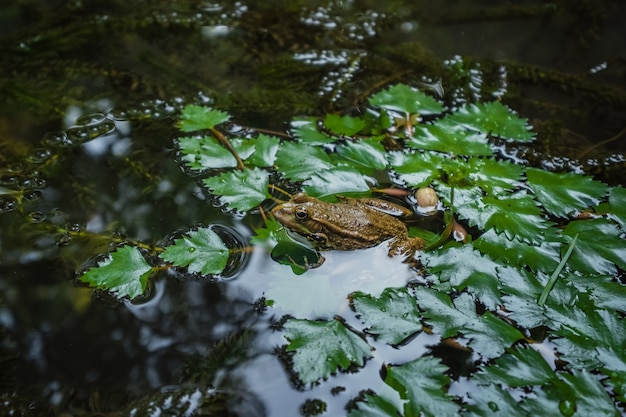 Żaba na lily pad makro. magic botanical garden w batumi w gruzji
