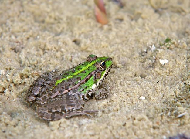 Żaba Na Piasku Premium Zdjęcia