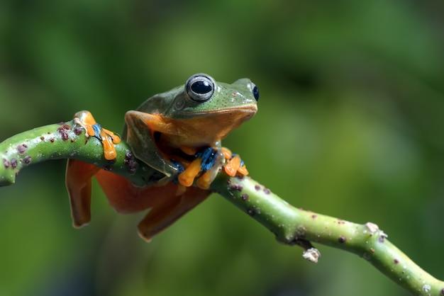 Żaba nadrzewna czarnopłetwego na gałęzi drzewa