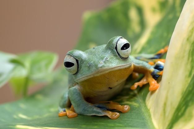 Żaba nadrzewna czarnopłetwego na liściu