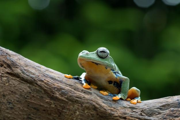 Żaba nadrzewna czarnopłetwego na pniu drzewa