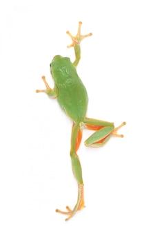 Żaba nadrzewna