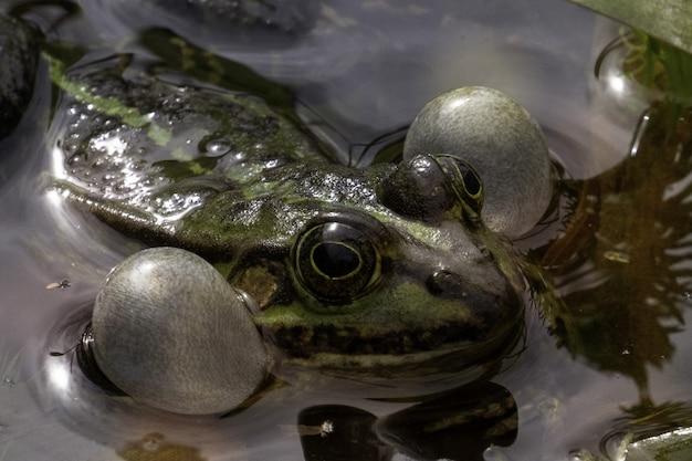 Żaba norek uważnie obserwuje swoje otoczenie w zielonym jeziorze