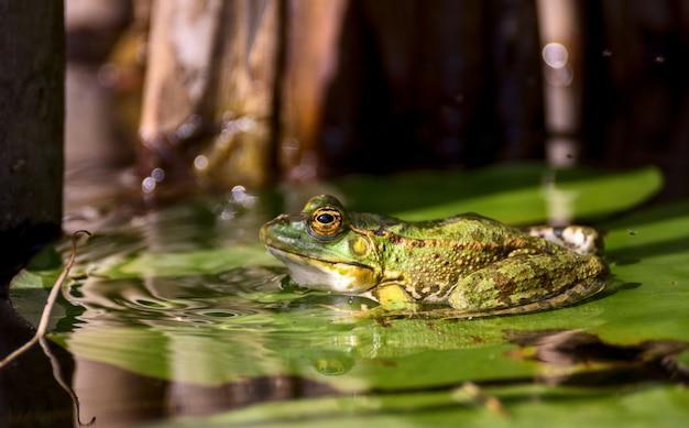 Żaba odpoczywa na lotosowym liściu.