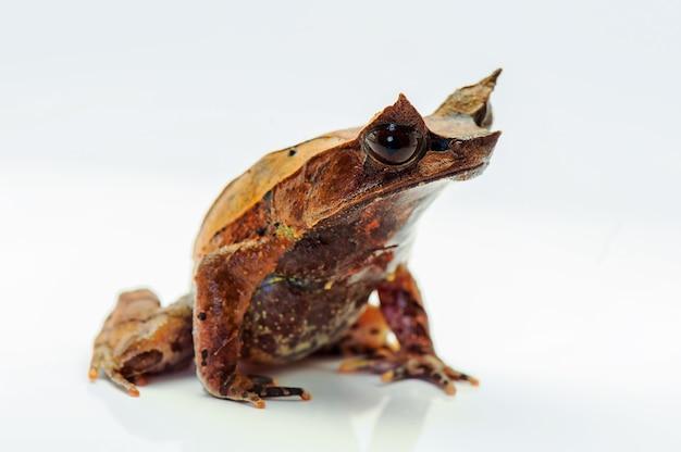 Żaba rogata z białym bacground