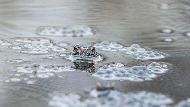 Żaba, ropucha, bufo bufo, żaba europejska w środowisku naturalnym