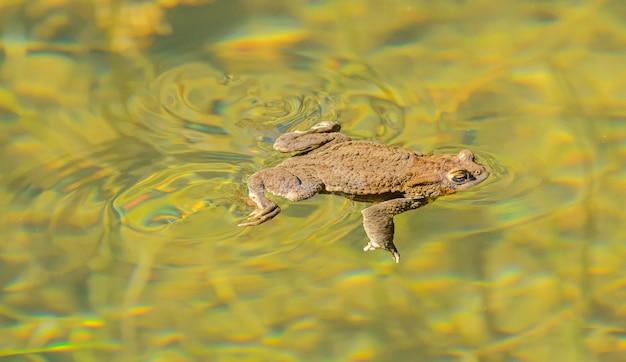 Żaba ropucha pływająca w czystej wodzie z wirami za sobą, dzika