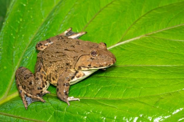 Żaba rycząca azji wschodniej